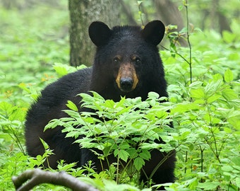 """Black Bear, Virginia: 7""""x10"""" archival print signed and matted in 11""""x14""""matte (larger sizes available on request)"""