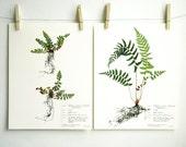 Baby Fern Print Set Herbarium Specimen Art, Pressed Plant Art, Pressed Fern Art, Scientific Wall Art Set, Green Nursery Decor, nos. 51, 52