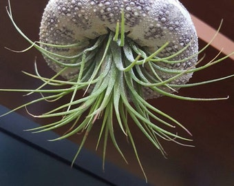 Hanging Sea Urchin Airplant display T. Scaposa