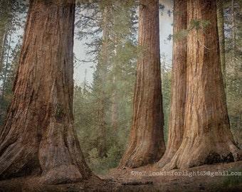 Yosemite Tree Art, California Sequoia Trees, Woodlands Photo Art, Mariposa Grove Photo Art, Bachelor & Three Graces, Yosemite National Park