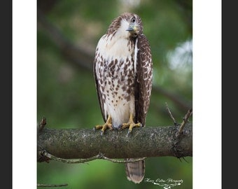Red Tailed Hawk Matted Picture