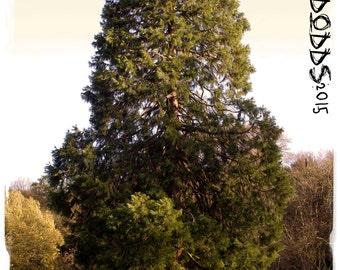 Sequoiadendron giganteum 'Giant Sequoia' [Ex. Whitaker Forest, California] Seeds