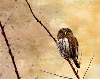 Owl Wall Art, Nature Decor, Little Owl, Owl Print, Wildlife Photography, Watercolor Art, Wildlife Prints, Wildlife Art, Raptors, Pygmy Owl