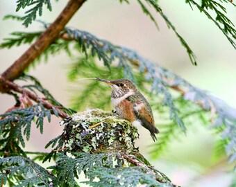 Hummingbird Art, Nature Photography, Hummingbird Photograph, Bird Nests, Baby Birds, Baby Hummingbird, Humming Birds, Wildlife Photos
