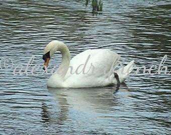 A Swan's Elegance