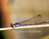 Damselfly Photo | Variable Dancer | Insect Themed Wall Art | Argia fumipennis | Wildlife | Nature Bug Decor | Purple Dragon Fly Art Print