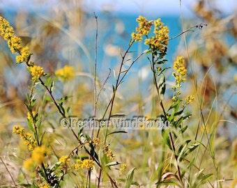 Goldenrod Flower Photography   Yellow Gold Blue Floral Wall Pic   Feminine Home Decor   Lake Flower Print   Summer   Michigan Sand Dunes Art