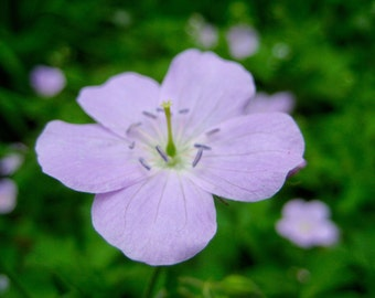 Flower photography - lavender flower - nature photography