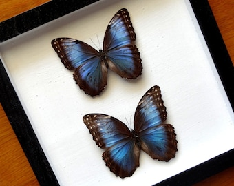 Real Morpho Helenor Carillonensis Pair - Framed - Taxidermy - Collectibles