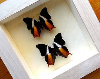 Real Charaxinae Palla Ussheri Framed - Taxidermy - Home Decoration - Collectibles