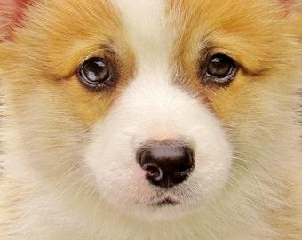 Puppy Eyes Corgi Instant Digital Download