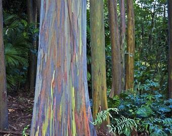RAINBOW TREE - Eucalyptus Deglupta