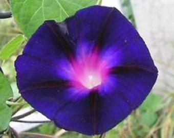 Morning Glory Grandpa Ott Flower Seeds / Ipomoea/Annual  25+
