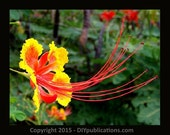 Pride Of Barbados - 15 Organic Seeds - Free Shipping + Buy 1 get 1 FREE