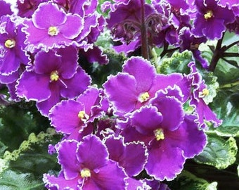 "African Violet/ Optimara""FRIENDSHIP""/well rooted plant in 4in pot"