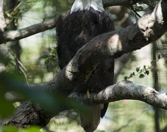 Fine art print of Bald Eagle