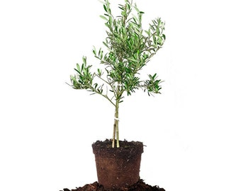ARBEQUINA OLIVE TREE: 3-4 ft