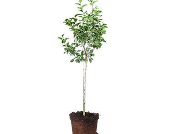 DORSETT GOLDEN APPLE tree Size: 3-4 ft