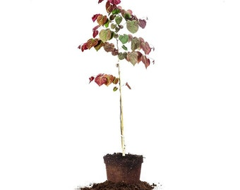 Forest Pansy Redbud tree Size: 3-4 FT