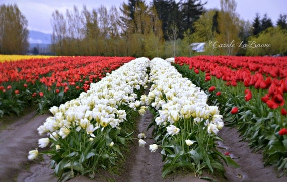 FIELD of WHITE TULIPS ~ Flower Photography ~ Botanical Wall Art ~ Floral Landscape ~ Nature Fine Art Photography ~ Tulip Festival ~