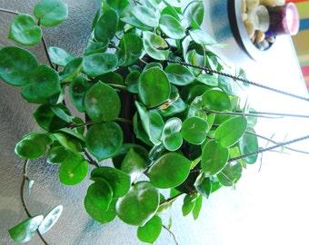 "Hoya Carnosa ""Chelsea"" Flowering Wax Plant - Tropical Hanging Basket Exotic Houseplant"