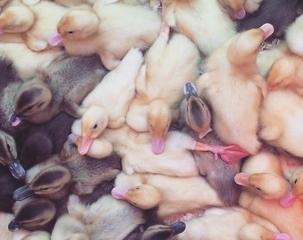 Naptime for Ducklings Photo Print, Animal Photography
