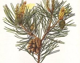 Scots pine, original 1913 botanical print - Pine tree, pine cone - 102 years old German antique lithograph illustration (B047)