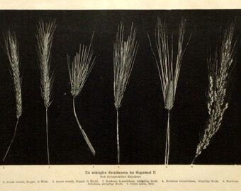 Rye & barley 1906 botanical print - Cereal grain, edible plants, kitchen wall decor - 109 years old German book page illustration (B057)