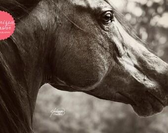 "Arabian stallion black and white photographic print, ""Prolific"""