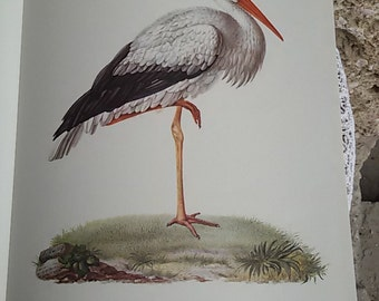 "The white stork""plank color"" annotated Illustration / natural history Museum / Vintage 70"