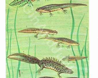 Vintage Newt Lithograph - Vintage Newt Print from the 1960's