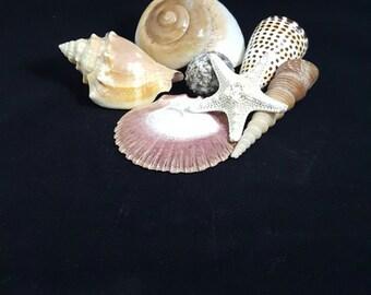 Natural Sea Shells, 7 Shells (7-3)