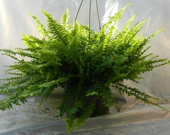 Boston Compacta Fern Plant in 6 inch pot