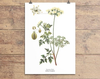 Poison Parsley botanical vintage illustration print