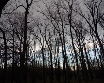 In the Woods (Silhouette trees against a colorful sky 8x10,10x13,11x13 Photo)