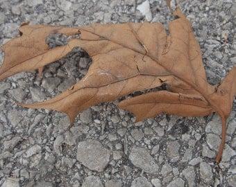Fallen Leaf Close Up (Fallen Brown Leaf Close Up on Pavement 8x10,10x13,11x13 Photo)