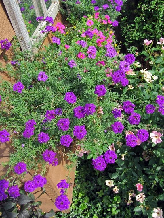 articles similaires imagination de verveine verveine speciosa fleurs bleus violet cadeau. Black Bedroom Furniture Sets. Home Design Ideas