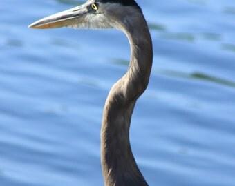 Great Blue Heron - FREE SHIPPING US