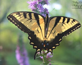 Eastern Tiger Swallowtail | Butterfly photo | Animal lover | Good vibes | Butterfly photography | Butterfly lover | Calming home decor