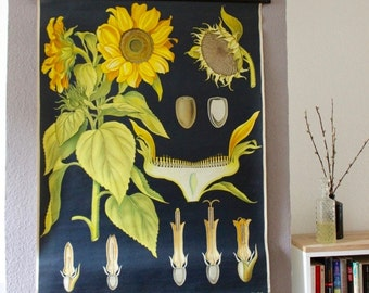 Original Vintage School Chart 'Sunflower' - Pull Down Map (Canvas, Wood)