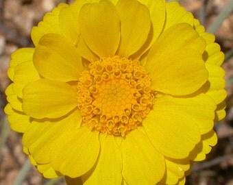 Desert Marigold Seed 100+ seeds  Baileya multiradiata