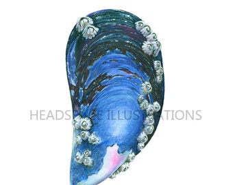 Ocean Mussel Shell with Barnicles Colored Pencil Art Print by Headspace Illustrations