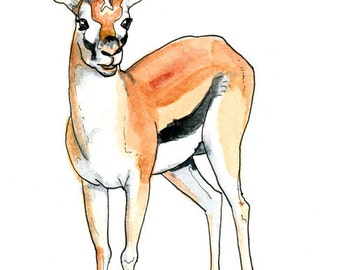 Thomsons Gazelle Watercolor Sketch Print 5 x 7, 8 x 10, and 11 x 14