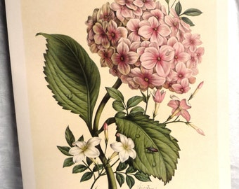 "1800s HYDRANGEA & JASMINE Art Print - Benoit Chirat French Botanical Illustration - Pink Green Blooming Flowers - 14 1/8"" x 10 3/8"""