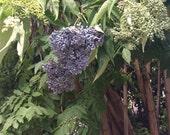 Blue Elderberry Seeds (Sambucus caerulea)