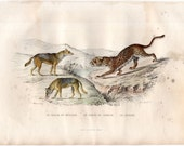 1837 ANTIQUE LEOPARD & JACKAL engraving original antique safari animal print -