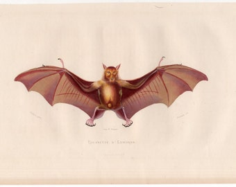 1860 ANTIQUE BAT FLYING fox print original antique hand colored chiroptera engraving - roussette D'edwards BATs by Buffon Very Rare!