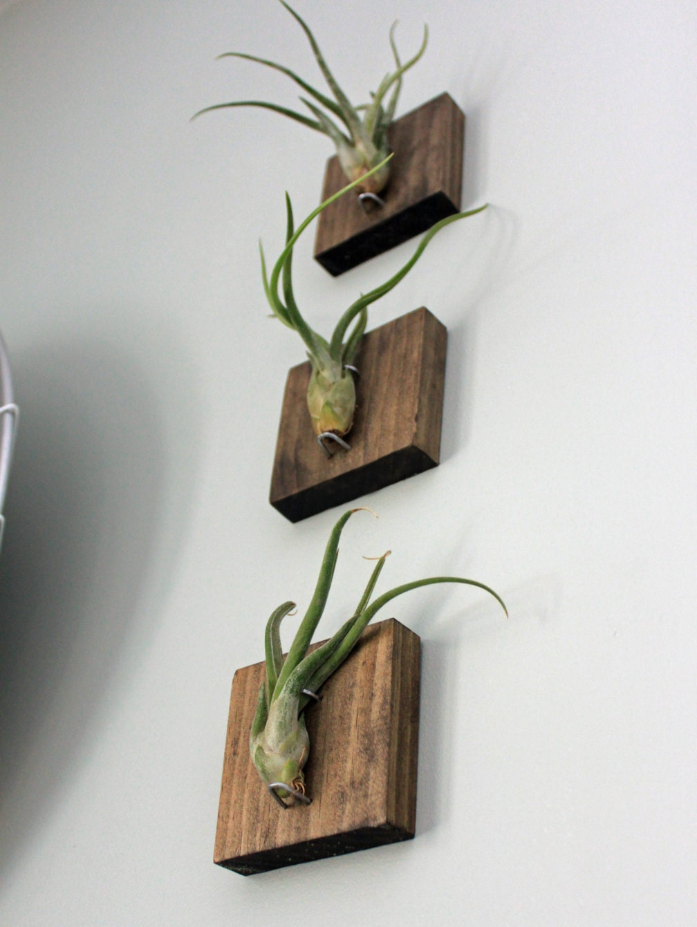 Mounted air plants medusa 39 s head living art uniqe for Air plant art
