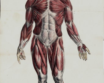 Antique print, 1844 Large ANATOMY chart print by Lemercier, lithograph of a muscular system and arteries in the Human Body