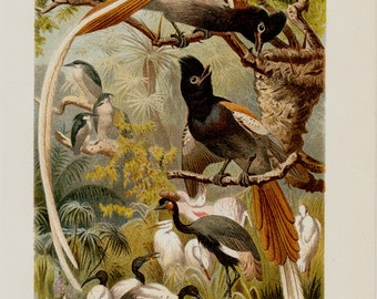 1890 Antique PARADISE BIRDS fine chromolithograph, Paradise Flycatcher bird and Garza, flamingo, 122 years old